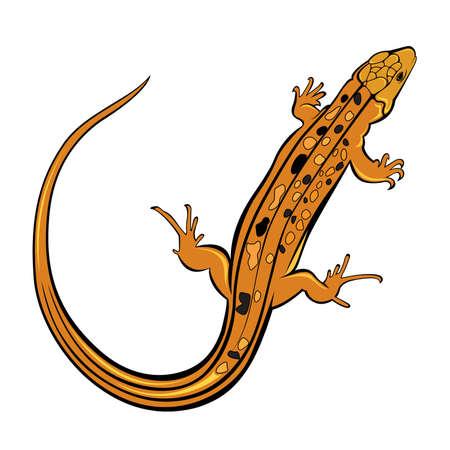 leopard gecko: Realistic gecko lizard. Illustration on white background for design