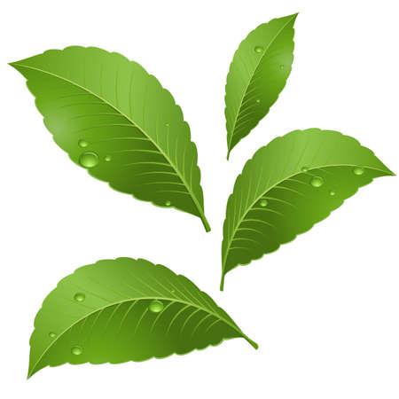 朝の露の滴と緑を葉します。白い背景の上の図