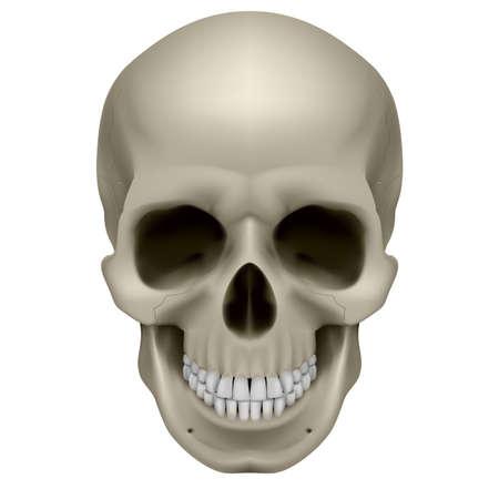 died: Cr�neo humano, vista frontal. Ilustraci�n digital en blanco