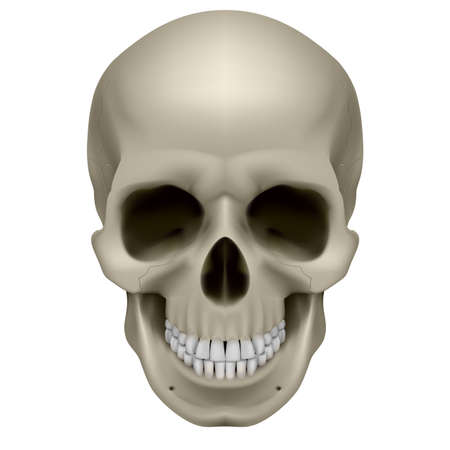 skull icon: Human skull, front view. Digital illustration on white