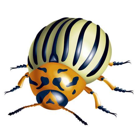 escarabajo: Escarabajo de la patata. ilustración sobre fondo blanco