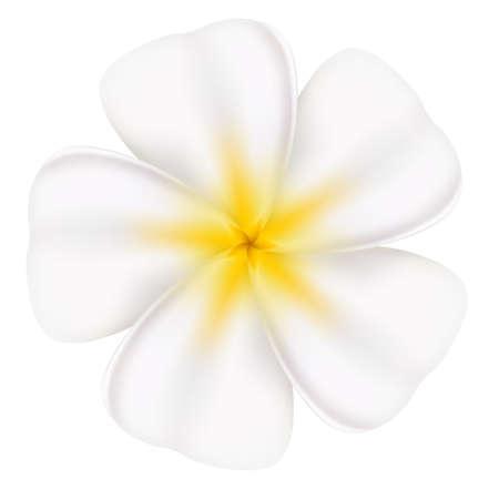 Realistic and beautiful frangipani. Illustration on white background Stock Vector - 13858309