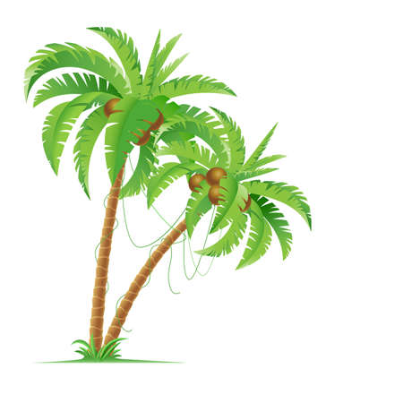 coconut palm: Two palm trees. Illustration for design on white background Illustration