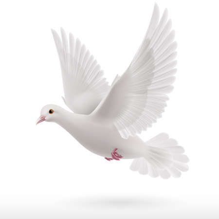 holy spirit: Flying white dove on white background as symbol of peace