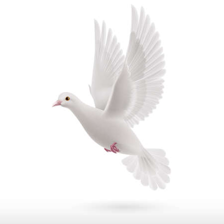 Realistic white dove flying on white background. Symbol of peace