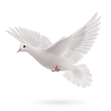 religious: Realistic white dove on white background. Symbol of peace