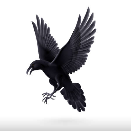 Aggressive black raven isolated on white background  Vector