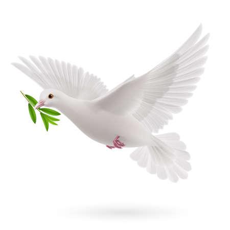 Colombe de la paix volant avec une olive verte brindille après une inondation sur fond blanc