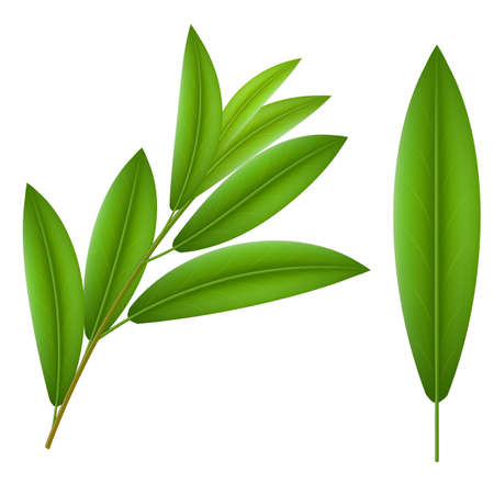 Green twigs olive  and one leaf olive Vector