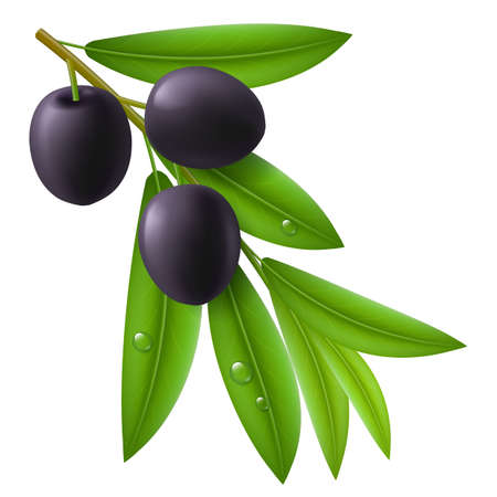 Branch of olive tree with ripe black olives and green leaves with drops on them. Vector