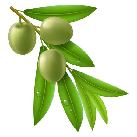 branch isolated: Branch of olive tree with green olives and leaves with drops on them. Illustration