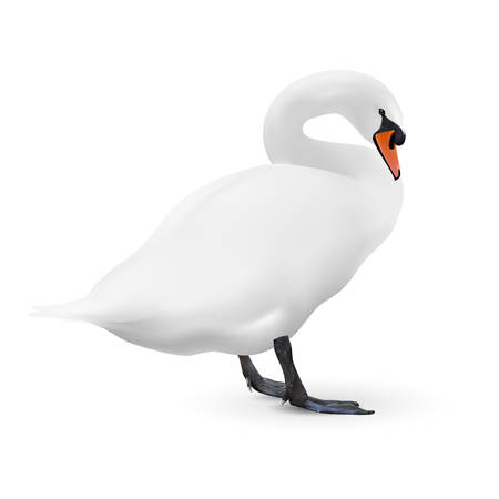 mute swan: White swan isolated on white background with a shadow,