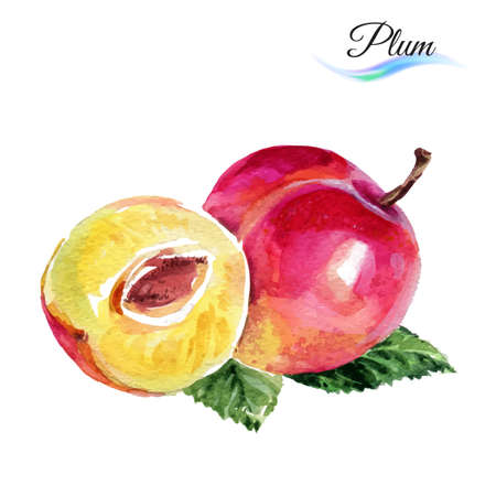 prune: Plum drawing watercolor isolated on white background Illustration