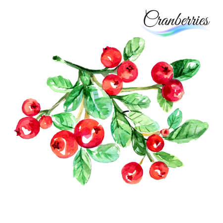 cranberries: Watercolor fruit cranberries isolated on white background
