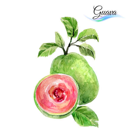 guava: Watercolor fruit guava isolated on white background