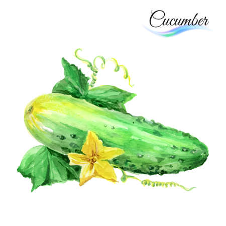 cucumber: Watercolor cucumber isolated on a white background