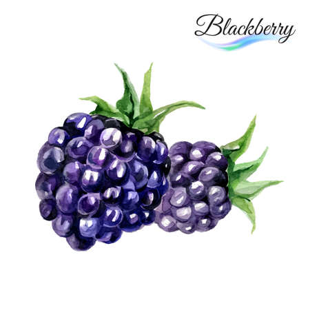 bramble: Watercolor fruit blackberry rose isolated on white background