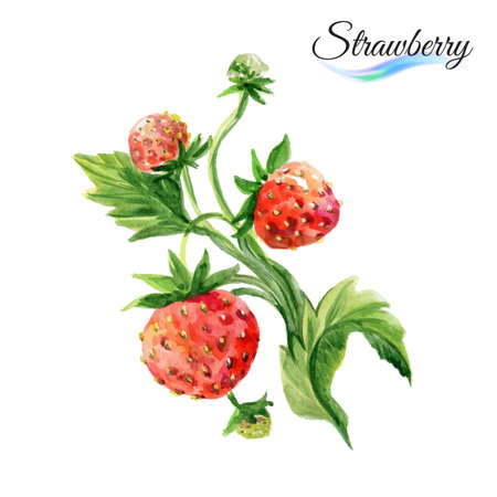 Watercolor fruit strawberry isolated on white background
