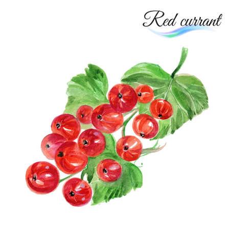 レッドカラント: 白い背景に分離された水彩フルーツ赤スグリ