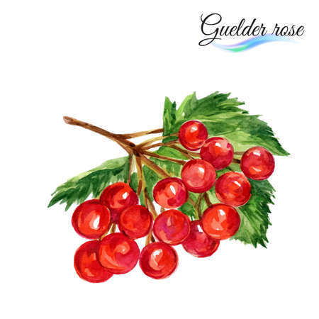 guelder: Watercolor fruit guelder rose isolated on white background Illustration