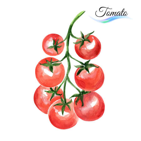 Watercolor vegetables red tomato isolated on white background