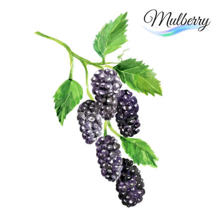 mulberry: Watercolor fruit mulberry isolated on white background