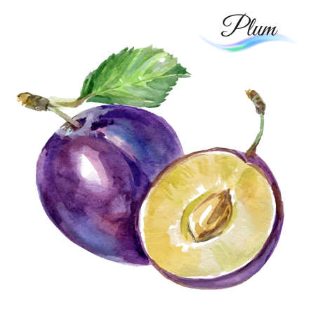 Plum drawing watercolor isolated on white background for design Vettoriali