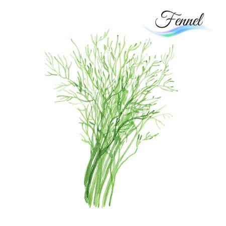 finocchio: Finocchio verdura fresca isolato su sfondo bianco