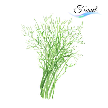 Fresh vegetable fennel isolated on white background