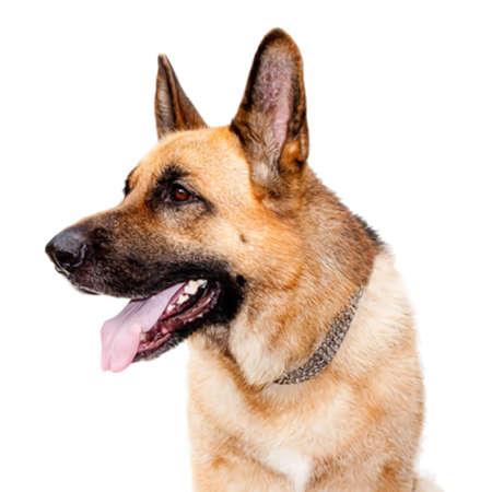 Vector Illustration of German Shepard Dog Portrait Illustration