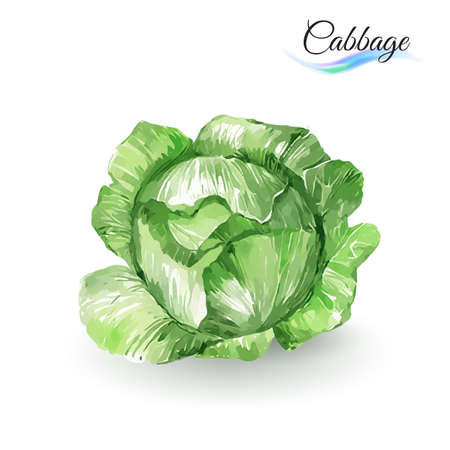 cabbage: Watercolor Painting Cabbage. Hand-drawn on white background Illustration