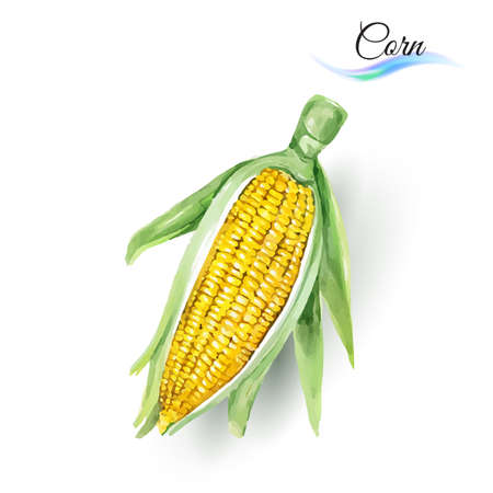 corn on the cob: Corn Cob with Leaf Made of Watercolor Painting on White Illustration