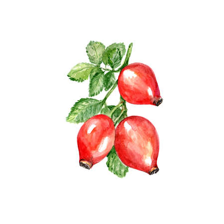 Watercolor Rose Hips. Hand Drawn Illustration Organic Food Vegetarian Ingredient Stock Photo
