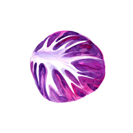 Watercolor Radicchio. Hand Drawn Illustration Organic Food Vegetarian Ingredient