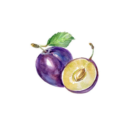 Watercolor Blue Plum. Hand Drawn Illustration Organic Food Vegetarian Ingredient Stock Photo