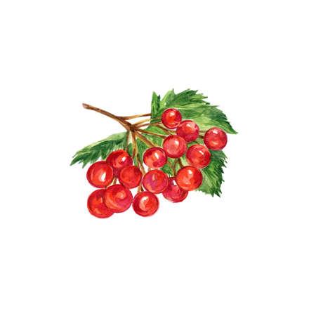 Watercolor Red Berries of Viburnum. Hand Drawn Illustration Organic Food Vegetarian Ingredient Stock Photo