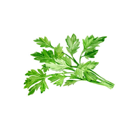 Watercolor Parsley. Hand Drawn Illustration Organic Food Vegetarian Ingredient Stock Photo