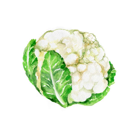 Watercolor Cauliflower. Hand Drawn Illustration Organic Food Vegetarian Ingredient