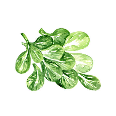 Watercolor Corn Lettuce. Hand Drawn Illustration Organic Food Vegetarian Ingredient