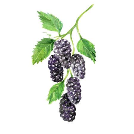 Watercolor Mulberry. Hand Drawn Illustration Organic Food Vegetarian Ingredient