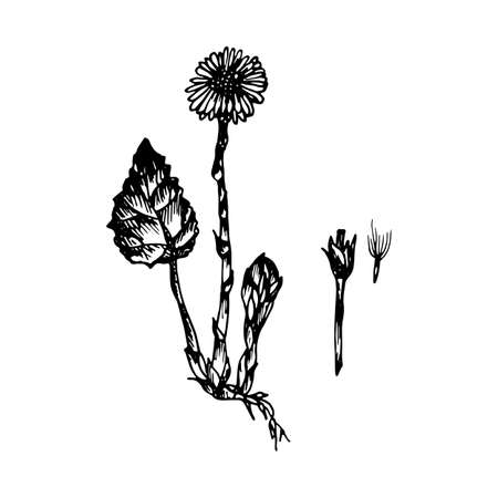 The black silhouette of the tussilago painted a gel pen on white illustration. Иллюстрация