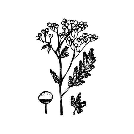 The black silhouette of the tanacetum painted a gel pen on white illustration.