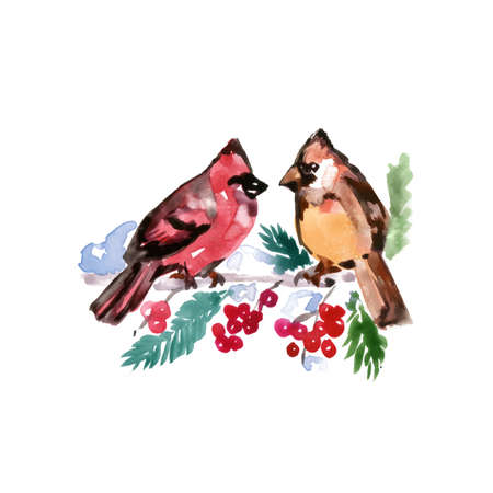 Watercolor Bird Cardinal, Latin name - Cardinals, Male and Female on a Rowan Berry Tree Branch. Hand Drawn Illustration on White Background.