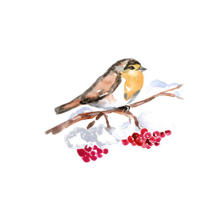Watercolor Bird European Robin Perched, Latin name - Erithacus Rubecula, on a Rowan Berry Tree Branch. Hand Drawn Illustration on White Background. Ilustracja