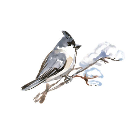 Watercolor Bird Bohemian Waxwing, Latin name -Bombycilla garrulus, on a Branch. Hand Drawn Illustration on White Background.