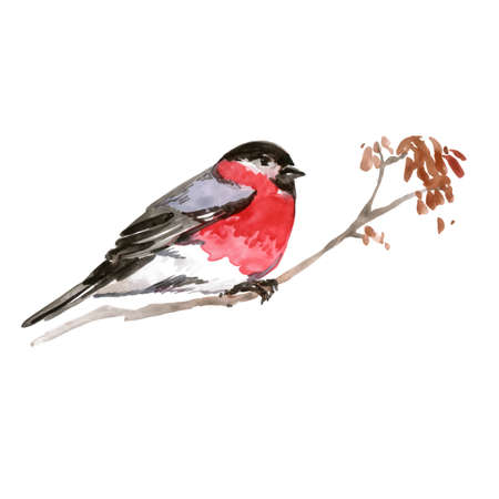 Watercolor Bird Bullfinch, Latin name - Pyrrhula pyrrhula, on the Branch. Hand Drawn Illustration on White Background for Design. Vettoriali