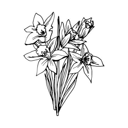 Sketch of Narcissus Daffodil Flowers. Drawn a Gel Pen on White Background