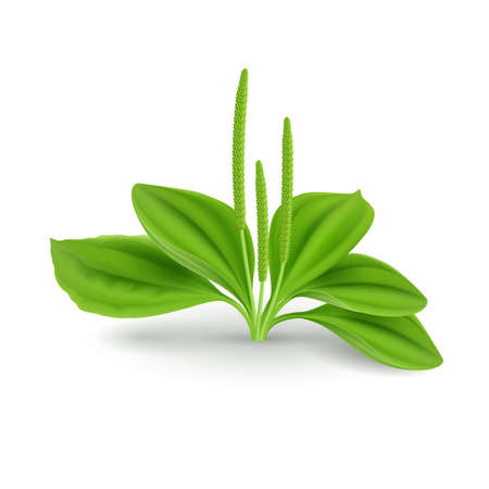 Green Leaves Plantago major (Broad-leaf Plantain, white Mans Foot, or Greater Plantain). Herb Cosmetic Plant on White Background Illustration