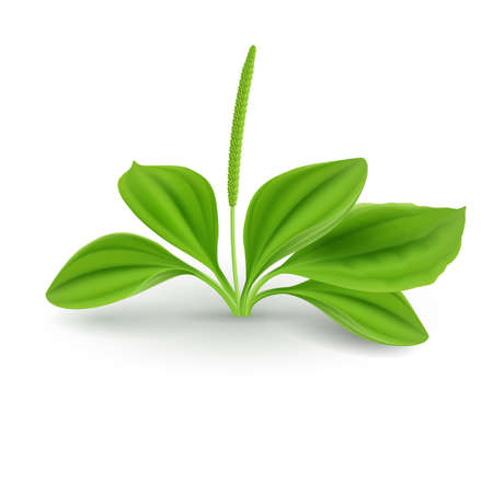 Fresh green leaves of plantain (Plantago Major or Soldiers Herb). Natural herb cosmetic plant on white background.