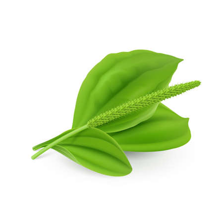 Fresh Green Leaves of Plantain (Plantago Major or Soldiers Herb) Natural Herb Cosmetic Plant on White Background Illustration